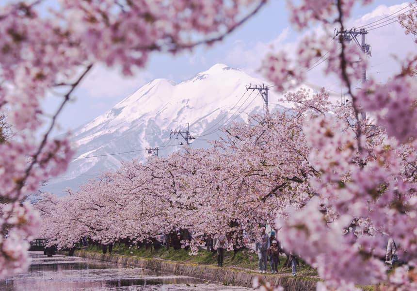 The World S Longest Sakura Road At The Southern Foot Of Mt Iwaki Japan Cherry Blossom Guide Japanese Cherry Blossom Festival