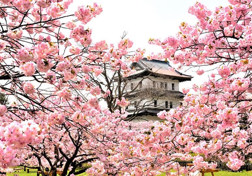 Matsumae Park Japan Cherry Blossom Guide Japanese Cherry Blossom Festival