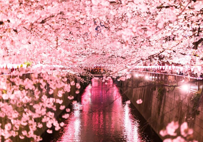 2021 2022 All Top 13 Best Cherry Blossom Spots Guide And Viewing Date In Tokyo Japan Cherry Blossom Guide Japanese Cherry Blossom Festival
